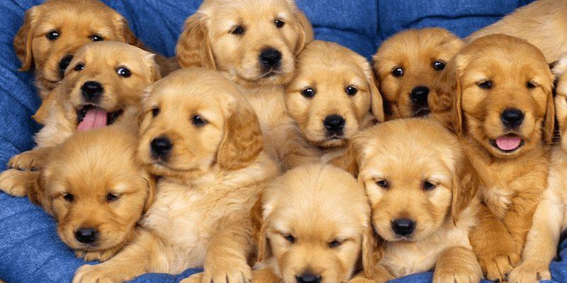 voicesofwrestling Puppies